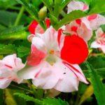 Цветок для полутени
