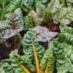 Что посадить в полутени из овощей?